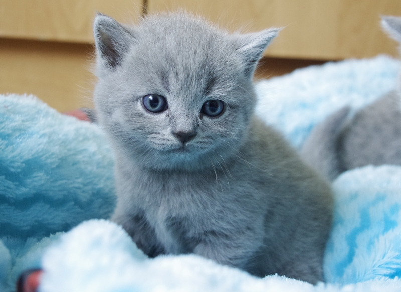 Wystarczy Brytyjski Niebieski Kot Oqb54 Usafrica